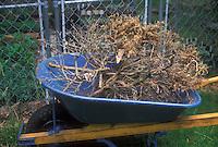 Yard work cleaning up garden of dead plants shrub, in blue wheelbarrow