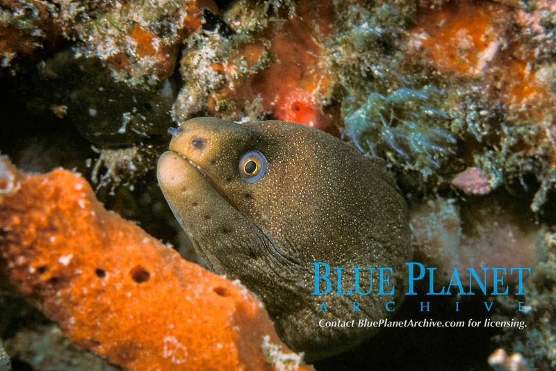 goldentail moray eel, Gymnothorax miliaris (formerly Muraena miliaris), the Delray Wreck, Delray Beach, Florida (Western Atlantic Ocean)