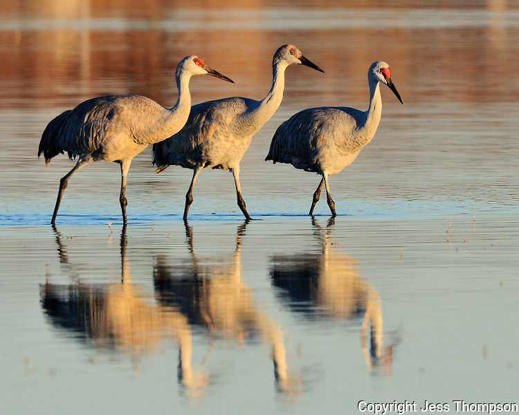 Sandhill Cranes, Bosque del Apache National Wildlife Refuge, NM