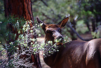 Elk can frequently be seen along the wooded areas of Grand Canyon's South Rim.