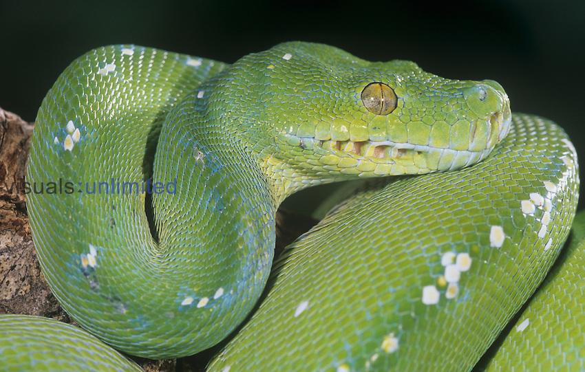 Green Tree Python (Chondropython viridis), Southeast Asia.