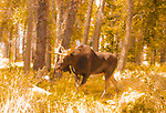 Bull Moose in Fall Forest