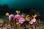 Nudibranchs mating and laying eggs (Chromodoris Bullocki)