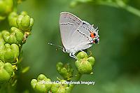 03191-00609 Gray Hairstreak butterfly (Strymon melinus) on Common Rue (Ruta graveolens) Marion Co., IL