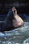Steller sea lion bull