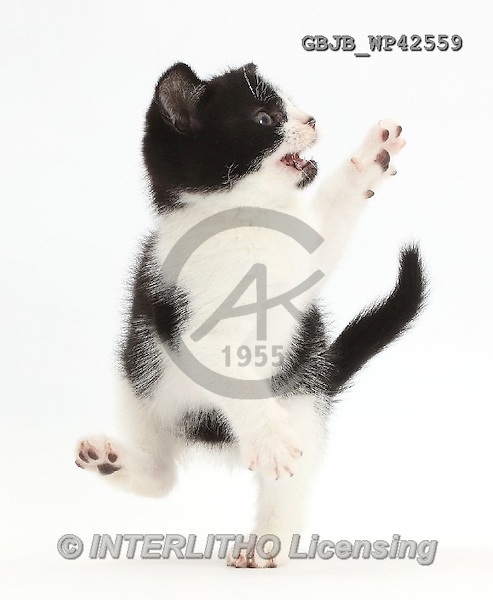 Kim, ANIMALS, REALISTISCHE TIERE, ANIMALES REALISTICOS, fondless, photos,+Black-and-white kitten, Loona, 9 weeks old, dancing,++++,GBJBWP42559,#a#
