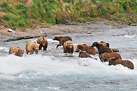 A group of bears line up at a favorite fishing spot at the McNeil River Falls,  in Alaska's McNeil River State Game Sanctuary.