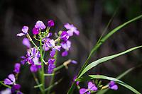 Tiny purple flowers of wild radish alongside the path at Lake Elizabeth city park in Fremont, California.