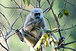 Grey, Common or Hanuman Langur, Semnopitheaus entellus, feeding on leaves in tree, Corbett National Park, Uttarakhand, Northern India.India....