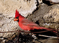 Northern Cardinal (male), Cardinalis cardinalis. animals, birds, songbirds, wildlife. Northern Cardinal. Arizona, Dos Cabezas Mtns.