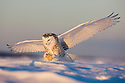 Snowy owl landing in snow field catching a mouse, Canada