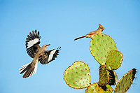Northern Mockingbird, Mimus polyglottos, adult and northern cardinal, Cardinalis cardinalis landing on Texas prickly pear cactus, Opuntia lindheimeri, Dinero, Lake Corpus Christi, Texas, USA, North America