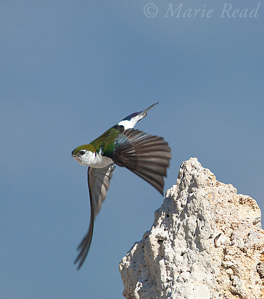 Violet-green Swallow (Tachycineta thalassina), male taking flight from tufa tower, Mono Lake, California,USA