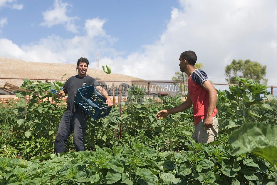 """Asie/Israël/Galilée/Rosh Pina/Safed: récolte des courgettes dans la ferme bio de l'Hotel Restaurant """"Mizpe Hayamim"""" créé par le docteur Yaros -Yaroshlavsky dans les années 60"""