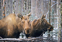 Cow and yearling calf moose in boreal forest, Fairbanks, Alaska