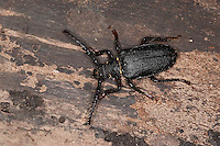 Sägebock, Männchen, Gerberbock, Säge-Bock, Prionus coriarius, the tanner, the sawyer, prionus longhorn beetle
