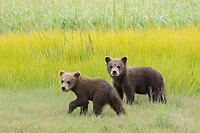 Young Grizzly bear cubs watch warily as they walk past humans watching them.