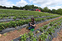 NWA Democrat-Gazette/J.T. WAMPLER Pristina Parker, 11, of Fayetteville picks strawberries Sunday May 12, 2019 at the Reagan Family Farm in south Fayetteville. They expect to be picking strawberries into early June. The farm also produces blueberries in starting in June and pumpkins in the fall.