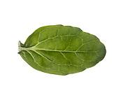 Günsel, Kriechender Günsel, Ajuga reptans, bugle, blue bugle, bugleherb, bugleweed, carpetweed, carpet bungleweed, common bugle, La bugle rampante. Blatt, Blätter, leaf, leaves