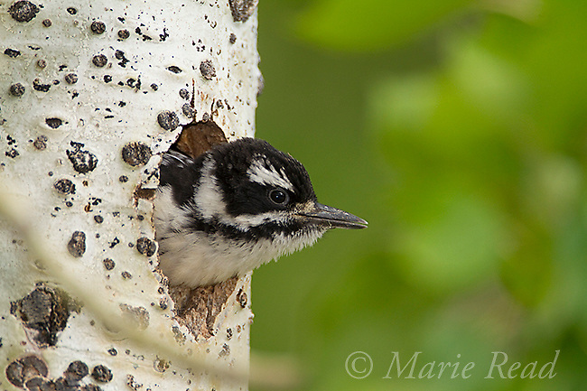 Hairy Woodpecker (Picoides villosus) nestling female looking out of nest hole, Yuba Pass, California, USA