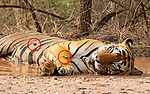 """Pictured: A brave frog lies on the back of a large tiger as it naps in a pool of water.   The little Indian skipper frog, which is just three inches long, had climbed onto the unfazed Bengal tiger as it lounged in a deep puddle of water to cool off in 40 degrees Celsius heat.<br /> <br /> Photographer Aditya Singh pictured the unlikely couple resting in Ranthambhore National Park in Rajasthan, India.   The 54 year old, from Rajasthan, said: """"The tiger didn't mind the frog being there.   SEE OUR COPY FOR DETAILS<br /> <br /> Please byline: Aditya Singh/Solent News<br /> <br /> © Aditya Singh/Solent News & Photo Agency<br /> UK +44 (0) 2380 458800"""