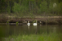 Trumpeter swans and Canada geese