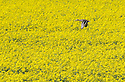 19/04/16 <br /> <br /> A mallard duck flies above a field of rapeseed near Swarkestone, Derbyshire.<br /> <br /> <br /> All Rights Reserved: F Stop Press Ltd. +44(0)1335 418365   +44 (0)7765 242650 www.fstoppress.com