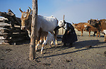 A Tsataan woman milks her cows on Tsataan Uul lake,   Outer Mongolia.