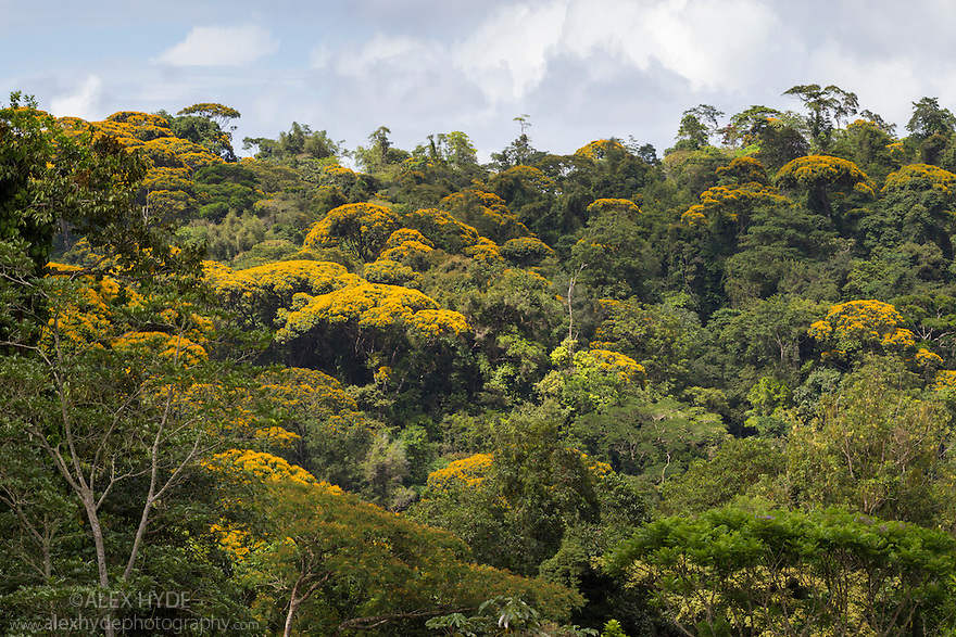 Tropical Premontane Rainforest. Central Caribbean foothills, Costa Rica. May.