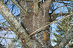 Dead Eastern White Pine tree, Pinus strobus, killed by borer beetles