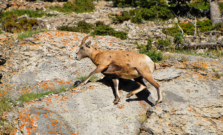 Big Horn ewe caught mid stride traversing the high mountain cliffs in Jasper National Park Alberta Canada