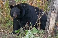 Large female Black Bear sitting near the underbrush