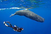 sperm whale, or cachalot, Physeter macrocephalus, and woman snorkeler, Dominica, Caribbean Sea, Atlantic Ocean, permit # RP 13/365 W-03