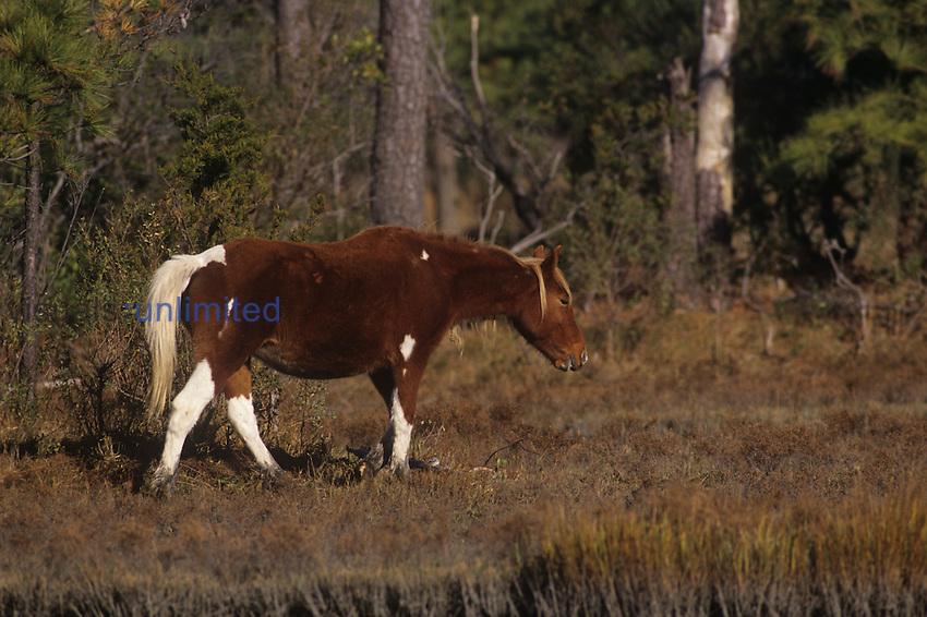 Chincoteague Pony (Equus caballus), Chincoteague National Wildlife Refuge, Virginia, USA.