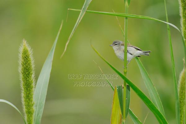 Tennessee Warbler (Vermivora peregrina), adult on Manchurian wild rice (Zizania latifolia), Port Aransas, Mustang Island, Coastal Bend, Texas Coast, USA