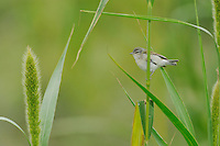 Tennessee Warbler (Vermivora peregrina), adult on Manchurian wild rice (Zizania latifolia), Port Aransas, Mustang Island, Coastal Bend, Texas Coast, USA
