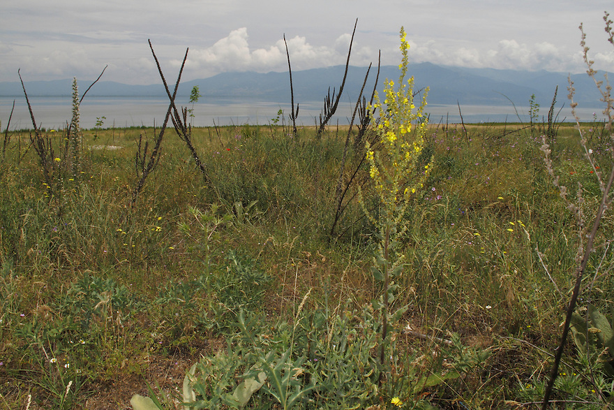 Hoary Mullein, Verbascum pulverulentum (yellow flower in foreground), and Dark Mullein, Verbascum nigrum (dark spikes in background).<br /> Stenje region, Lake Macro Prespa (850m) <br /> Galicica National Park, Macedonia, June 2009<br /> Mission: Macedonia, Lake Macro Prespa /  Lake Ohrid, Transnational Park<br /> David Maitland / Wild Wonders of Europe