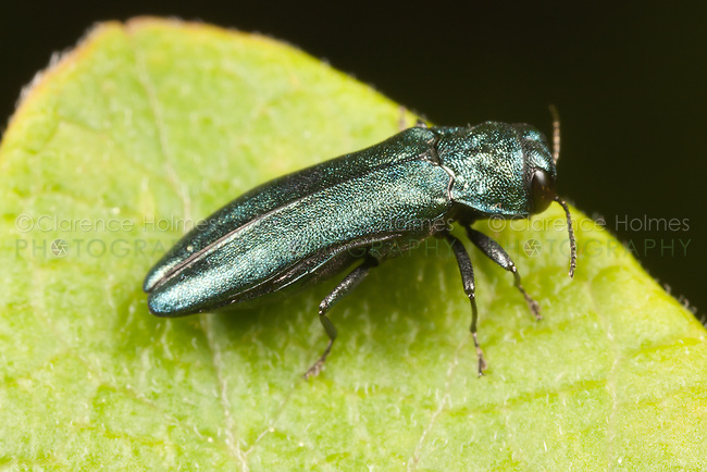 Metallic Wood-boring Beetle (Agrilus cyanescens), Ward Pound Ridge Reservation, Cross River, Westchester County, New York