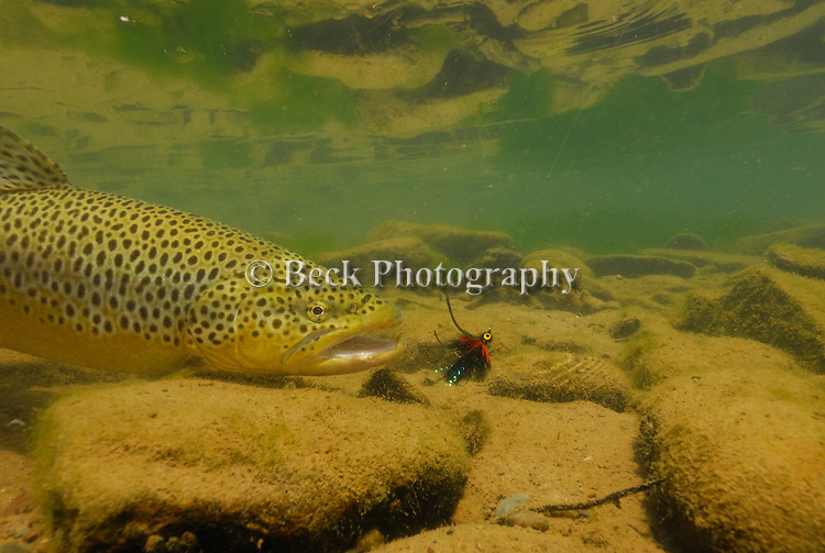 Underwater brown trout