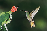 Buff-bellied Hummingbird, Amazilia yucatanenensis,adult feeding from Turk's Cap (Malvaviscus drummondii), Weslaco, Rio Grande Valley, Texas, USA, May 2002