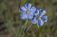 Wild blue flax or wild flax, Prairie flax, Lewis flax, Lewis's flax (Linum lewisii) wildflower.  Wyoming.  June