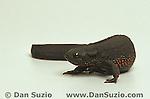 Japanese fire newt, Cynops pyrrhogaster
