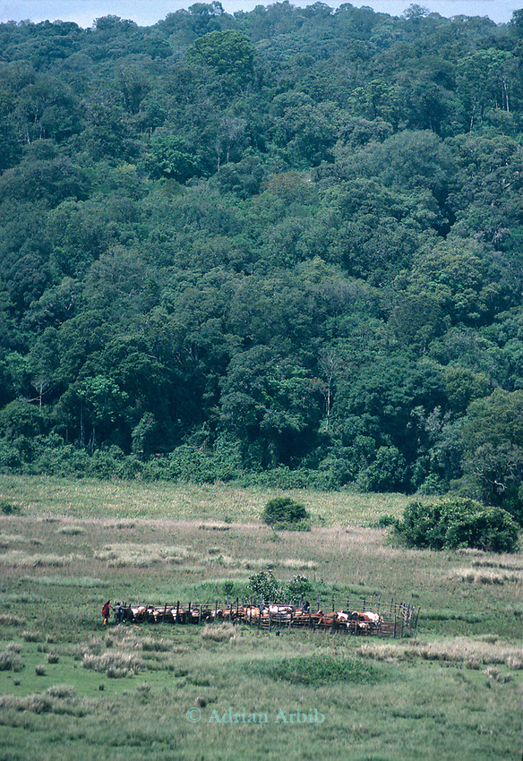 A Maasai herders and their cattle returning from grazing to the  protection of the high stockades.<br /> Laikipia region. Kenya.