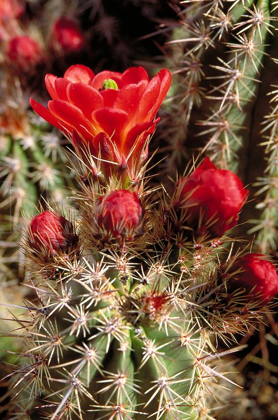 Claret-Cup Hedgehog Cactus, Echinocereus triglochidiatus. Arizona.