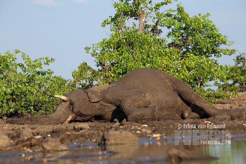 African Elephant (Loxodonta africana). Vulnerable species...Elephant at a waterhole, lying down for a brief moment...Mashatu Game Reserve..Tuli block, Botswana..November 2010.