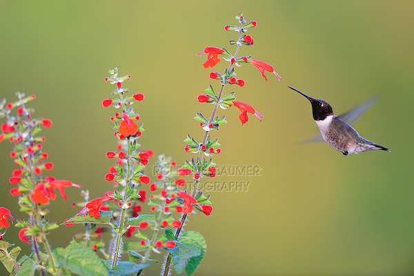 Black-chinned Hummingbird (Archilochus alexandri), male feeding on Tropical Sage (Salvia coccinea), Dinero, Lake Corpus Christi, South Texas, USA