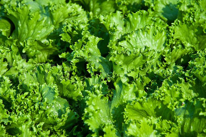 Ithaca lettuce growing in a vegetable garden.