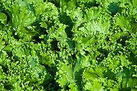 Ithaca lettuce growing in a vegetable garden.