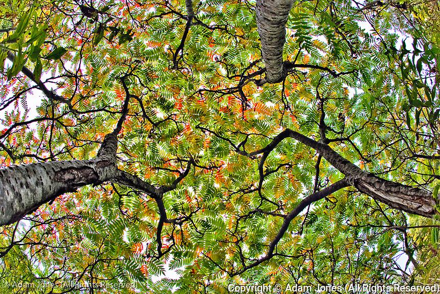 Fisheye view of three sumac trees in autumn, Mount Desert Island, Maine