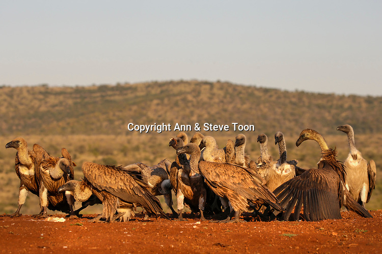 Whitebacked vultures (Gyps africanus) at carcass, Zimanga private game reserve, KwaZulu-Natal, South Africa, May 2017